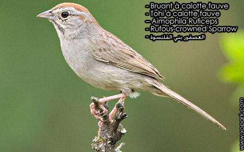Bruant à calotte fauve – Tohi à calotte fauve – Aimophila Ruficeps – Rufous-crowned Sparrow – xopark9