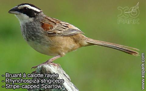 Bruant à calotte rayée – Rhynchospiza strigiceps – Stripe-capped Sparrow – xopark1