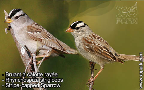 Bruant à calotte rayée – Rhynchospiza strigiceps – Stripe-capped Sparrow – xopark3