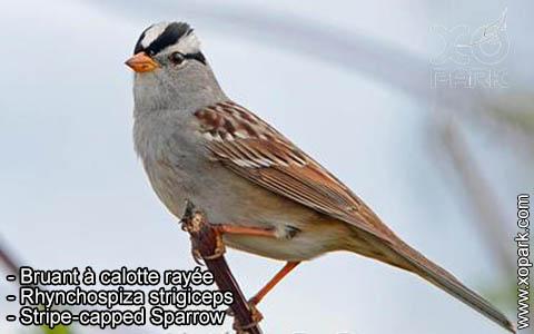 Bruant à calotte rayée – Rhynchospiza strigiceps – Stripe-capped Sparrow – xopark4