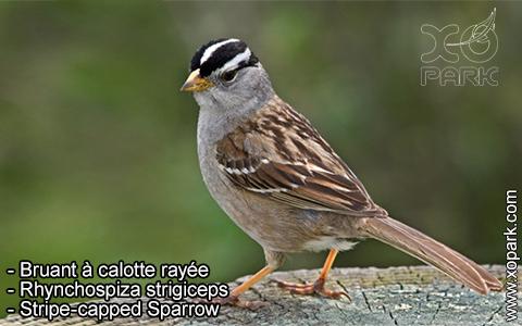 Bruant à calotte rayée – Rhynchospiza strigiceps – Stripe-capped Sparrow – xopark5