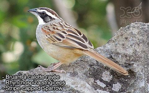 Bruant à calotte rayée – Rhynchospiza strigiceps – Stripe-capped Sparrow – xopark6