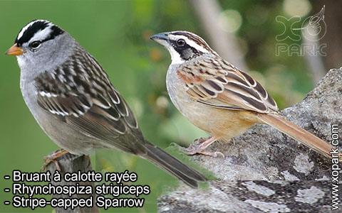 Bruant à calotte rayée – Rhynchospiza strigiceps – Stripe-capped Sparrow – xopark7
