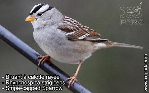Bruant à calotte rayée – Rhynchospiza strigiceps – Stripe-capped Sparrow – xopark8