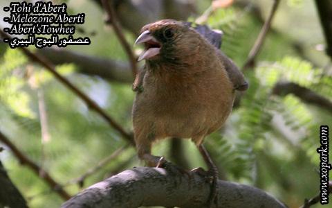 Tohi d'Abert – Melozone Aberti – Abert's Towhee – xopark02