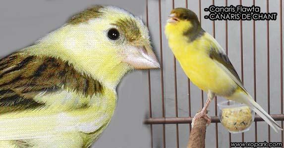Canaris Flawta est un oiseau de chant, famille des fringillidés, ses descriptions, ses photos et ses vidéos sont ici à xopark.com