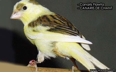 Canaris Flawta – CANARIS DE CHANT – xopark1