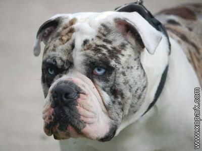 Alapaha Blue - Alapaha Blue Blood Bulldog