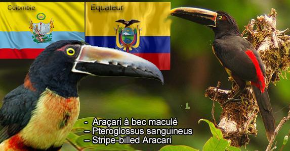 Araçari à bec maculé – Pteroglossus sanguineus – Stripe-billed Aracari