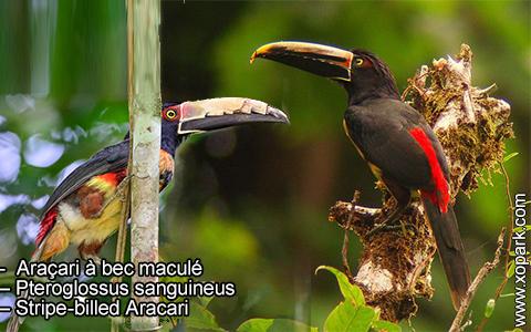 Araçari à bec maculé – Pteroglossus sanguineus – Stripe-billed Aracari – xopark1