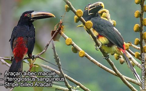 Araçari à bec maculé – Pteroglossus sanguineus – Stripe-billed Aracari – xopark2