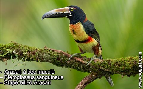 Araçari à bec maculé – Pteroglossus sanguineus – Stripe-billed Aracari – xopark4