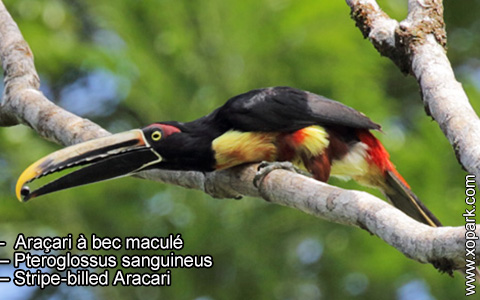 Araçari à bec maculé – Pteroglossus sanguineus – Stripe-billed Aracari – xopark6