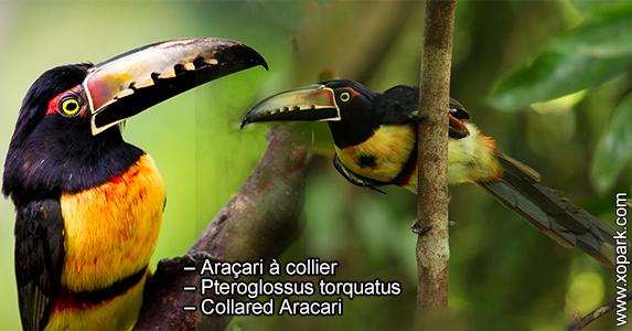 Araçari à collier – Pteroglossus torquatus – Collared Aracari
