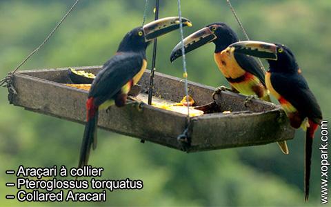 Araçari à collier – Pteroglossus torquatus – Collared Aracari – xopark5