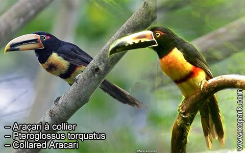 Araçari à collier – Pteroglossus torquatus – Collared Aracari – xopark6