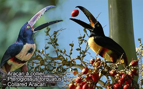 Araçari à collier – Pteroglossus torquatus – Collared Aracari – xopark7