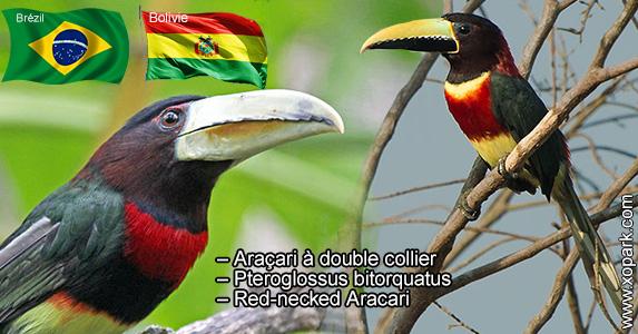 Araçari à double collier – Pteroglossus bitorquatus – Red-necked Aracari