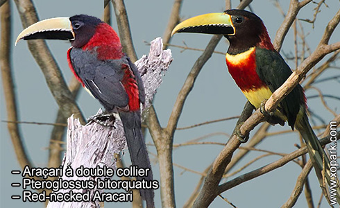 Araçari à double collier – Pteroglossus bitorquatus – Red-necked Aracari – xopark1