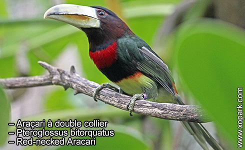 Araçari à double collier – Pteroglossus bitorquatus – Red-necked Aracari – xopark2