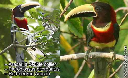 Araçari à double collier – Pteroglossus bitorquatus – Red-necked Aracari – xopark3