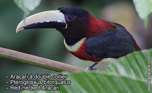 Araçari à double collier – Pteroglossus bitorquatus – Red-necked Aracari – xopark4