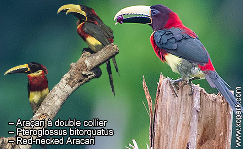 Araçari à double collier – Pteroglossus bitorquatus – Red-necked Aracari – xopark5