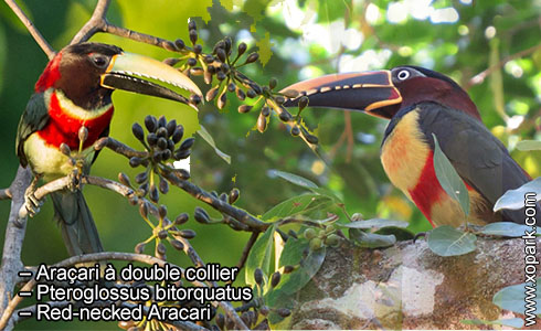 Araçari à double collier – Pteroglossus bitorquatus – Red-necked Aracari – xopark6