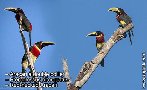 Araçari à double collier – Pteroglossus bitorquatus – Red-necked Aracari – xopark7