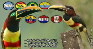 Araçari à oreillons roux – Pteroglossus castanotis – Chestnut-eared Aracari