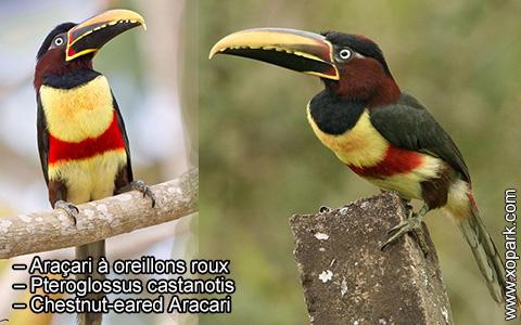 Araçari à oreillons roux – Pteroglossus castanotis – Chestnut-eared Aracari – xopark1