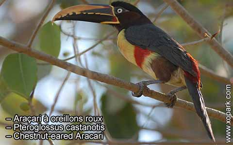 Araçari à oreillons roux – Pteroglossus castanotis – Chestnut-eared Aracari – xopark10