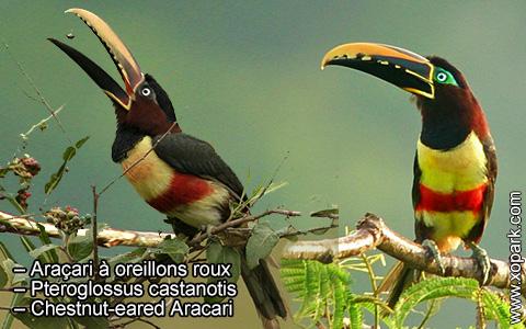 Araçari à oreillons roux – Pteroglossus castanotis – Chestnut-eared Aracari – xopark2