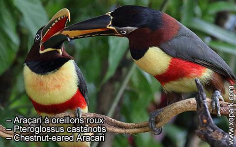 Araçari à oreillons roux – Pteroglossus castanotis – Chestnut-eared Aracari – xopark4