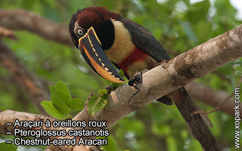 Araçari à oreillons roux – Pteroglossus castanotis – Chestnut-eared Aracari – xopark5