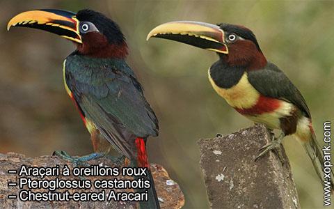 Araçari à oreillons roux – Pteroglossus castanotis – Chestnut-eared Aracari – xopark6