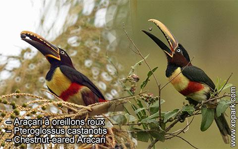 Araçari à oreillons roux – Pteroglossus castanotis – Chestnut-eared Aracari – xopark7