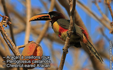 Araçari à oreillons roux – Pteroglossus castanotis – Chestnut-eared Aracari – xopark8