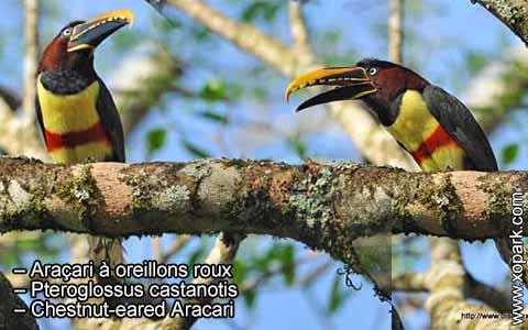Araçari à oreillons roux – Pteroglossus castanotis – Chestnut-eared Aracari – xopark9