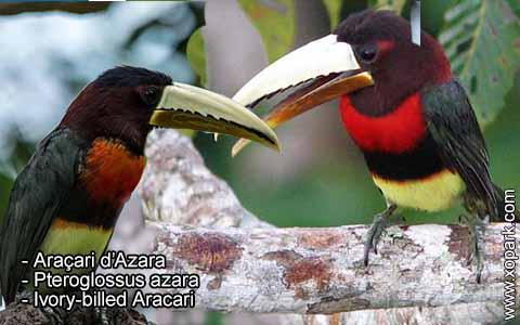 Araçari d'Azara – Pteroglossus azara – Ivory-billed Aracari – xopark1