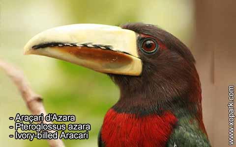 Araçari d'Azara – Pteroglossus azara – Ivory-billed Aracari – xopark3