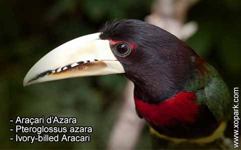 Araçari d'Azara – Pteroglossus azara – Ivory-billed Aracari – xopark4
