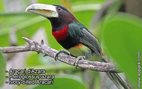 Araçari d'Azara – Pteroglossus azara – Ivory-billed Aracari – xopark5