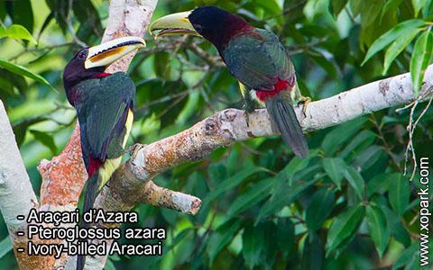 Araçari d'Azara – Pteroglossus azara – Ivory-billed Aracari – xopark6