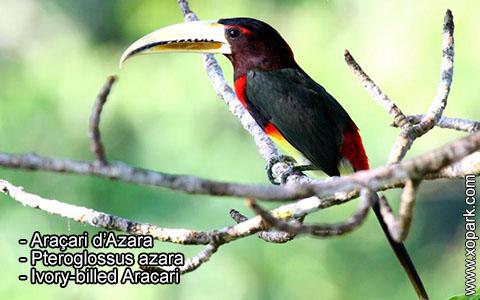 Araçari d'Azara – Pteroglossus azara – Ivory-billed Aracari – xopark7