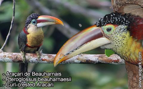Araçari de Beauharnais – Pteroglossus beauharnaesii – Curl-crested Aracari – xopark2