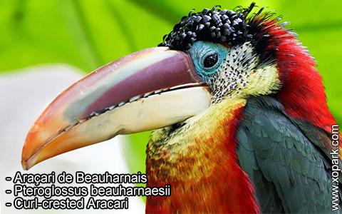Araçari de Beauharnais – Pteroglossus beauharnaesii – Curl-crested Aracari – xopark4