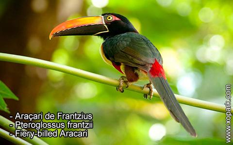 Araçari de Frantzius – Pteroglossus frantzii – Fiery-billed Aracari – xopark1