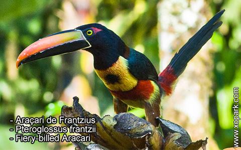 Araçari de Frantzius – Pteroglossus frantzii – Fiery-billed Aracari – xopark2
