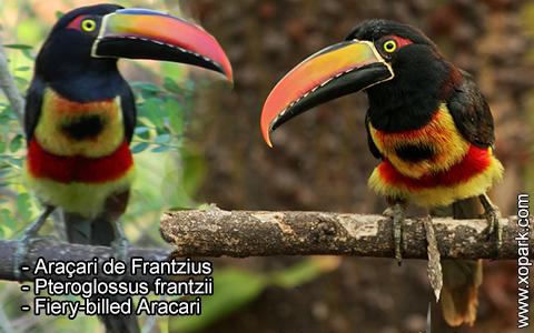 Araçari de Frantzius – Pteroglossus frantzii – Fiery-billed Aracari – xopark3